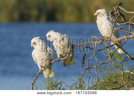 Three Little Corellas gazing intently from their perch on a tree at Herdsman Lake in Perth Wesren Australia.