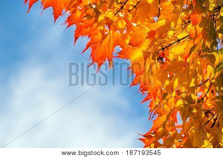 Golden and orange autumn foliage leaves on a maple tree against blue sky. Copy space.