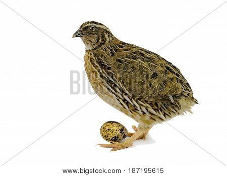 Quail hen and eggs isolated on white. Domesticated quails are important agriculture poultry