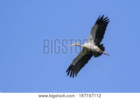 Image of asian openbill stork flying in the sky. Wild Animals.
