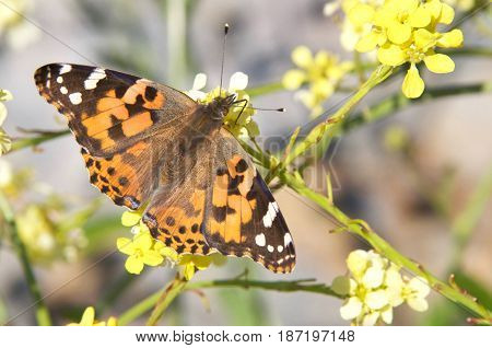The Cynthia group of colourful butterflies commonly called painted ladies comprises a subgenus of the genus Vanessa in the family Nymphalidae. Drinking nectar from mustard plant flowers.