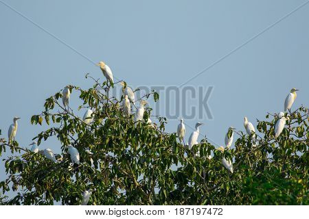 Image of flocks of egrets on the trees. Wild Animals.