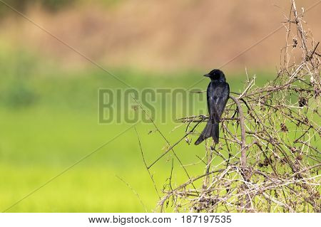 Black Drongo (Dicrurus macrocercus) on the branch on nature background. Wild Animals. Bird