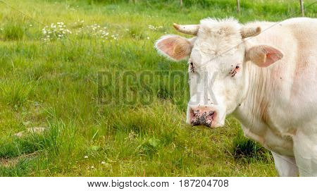 Portrait of a curiously looking white cow with many annoying black flies around its eyes and nose.