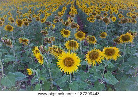 Full bloom sunflower field plantation selectived focuse