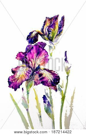 Watarecolors painted iris Provencal isolated on white .