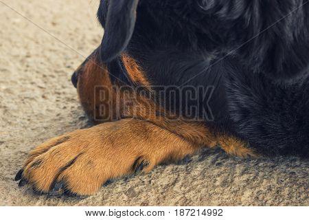 A big sad dog. Waiting sadness. Rottweiler. Turned away.