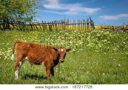 A red cow grazes on a meadow against the old wooden fence. A small calf in the Ukrainian field.
