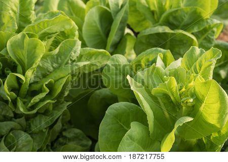 Fresh lettuce plant closeup growing in the garden