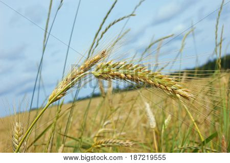 view of ears and a field of ripe wheat on a background cloudy sky
