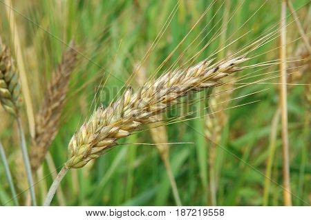 Ear of ripe wheat closeup on a green background. Agriculture