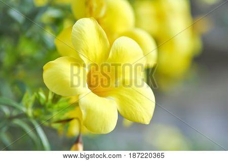 Allamanda cathartica or yellow Allamanda flower in the garden
