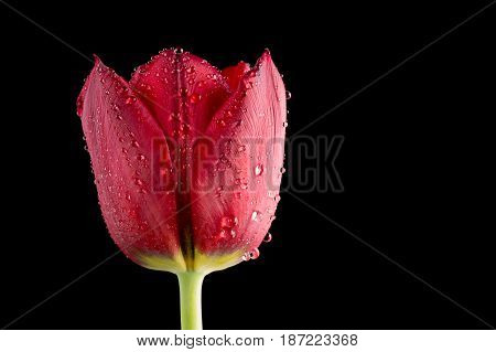 Close up red tulip with water droplets on black
