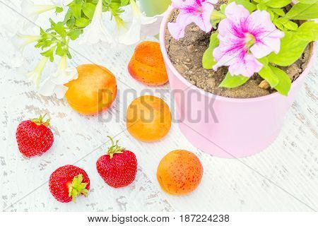 Red ripe strawberry orange apricots white and pink petunia in a flowerpot on a white wooden table in a summer garden close-up