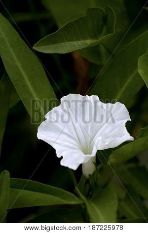 Morning glory or White dwarf morning glory in garden.