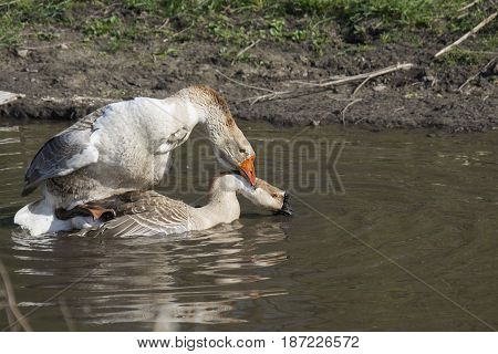 In the summer, geese swim on the lake and make love. Close-up.
