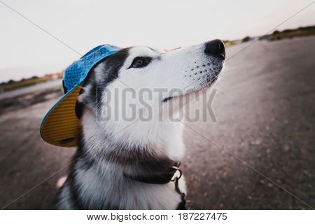 Funny siberian husky dog playing outdoors at day
