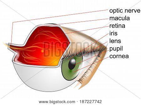anatomy of eye. eye on white background