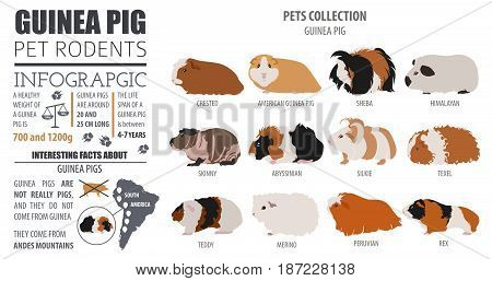 Pets_rodents_guinea Pig_8.eps