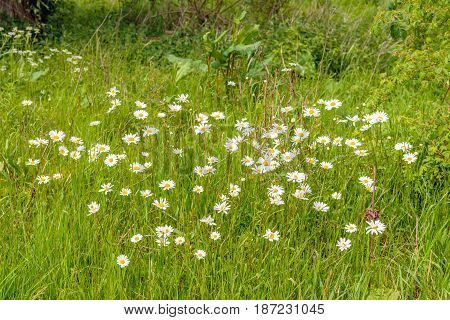 Yellow and white flowering ox-eye daisies in the foreground of a closeup of a part of a nature reserve in the Netherlands.