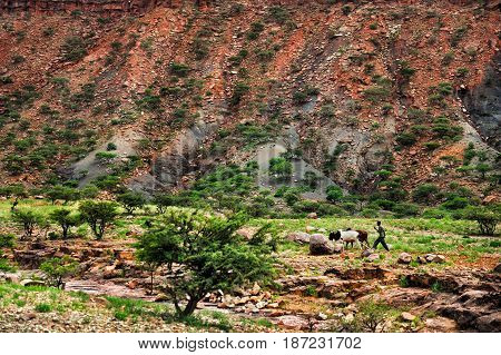 Landscape shot in Tigray province Young man plowing agricultural field in traditional way. Agricultural field. Ethiopia Africa