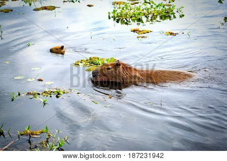 Capybaras (Hydrochoerus hydrochaeris) the largest rodents in the world. Wetlands in Nature Reserve Esteros del Ibera Colonia Carlos Pellegrini Corrientes Argentina