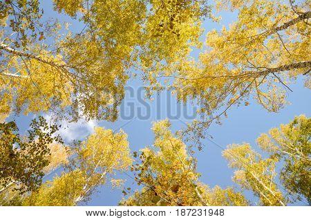Crowns of birch tree in the sun light.
