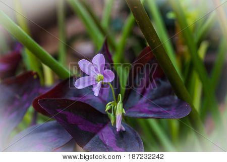oxalis triangularis commonly called false shamrock flower