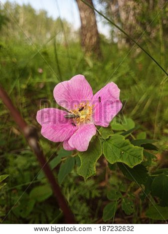 Beautiful wild pink flower in the forest and small bugs.