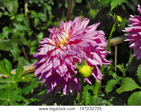 PINK DAHLIA, WITH GREEN LEAFED BACK GROUND