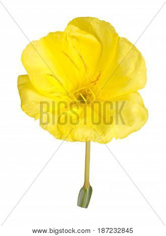 Single bright yellow flower of Missouri evening primrose (Oenothera macrocarpa) isolated against a white background