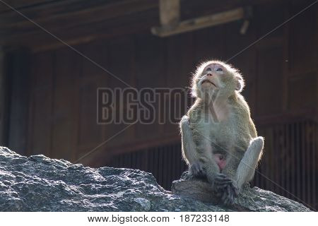 Monkey sitting on the stone and looking to sky