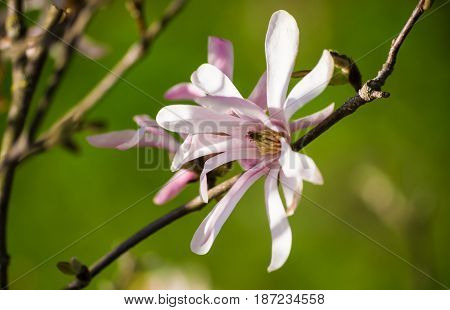 magnolia  stellata, several gentle white with a pink flower close up, growing on a branch on the left side of the photo, in a botanical garden, a sunny day, on a green background, nature, spring,