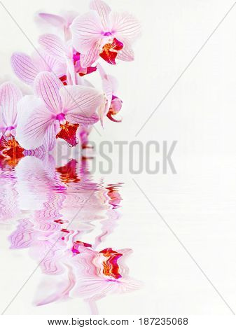 Beautiful Phalaenopsis orchid branch with striped white and pink flowers on white background reflected in a water surface with small waves with space for text