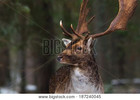Head of graceful brown deer closeup. Male deer with large beautiful horns.Deer on a background of a winter forest, carefully looking towards.Desired trophy for hunters. Belarus, Europe