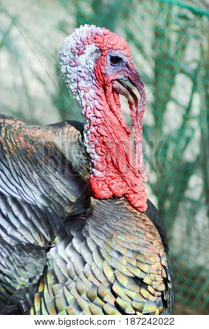 View of a turkey head in a chicken coop