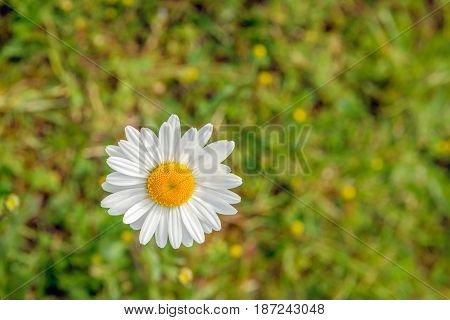 Closeup as seen in bird's-eye view of a white and yellow flowering oxeye daisy plants in its own natural habitat on a sunny day in the spring season.