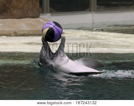 A Happy Dolphin Swims on its Back Playing with a Basketball at the Surface