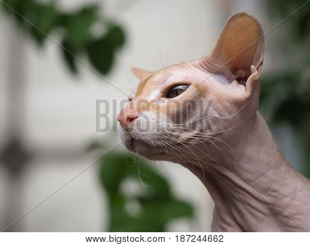 Portrait of a cat Sphinx. Green natural background