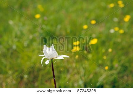Closeup as seen from the side of a white budding oxeye daisy plant in its own natural habitat on a sunny day in the spring season. Under the bud of the flower is a cobweb with some dead insects.