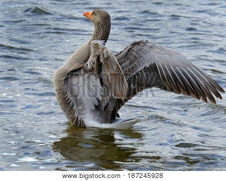 Greylag goose flapping wings during cleaning of feathers.