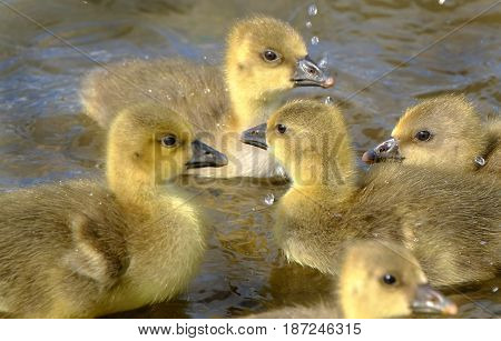 Young Grey Lag geese goslings freshly hatched in family group.