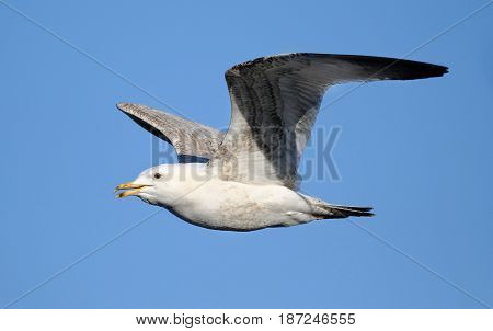 Young herring gull in flight at UK seaside location.