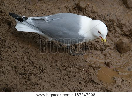 Kittiwake collecting  wet mud for nest building.