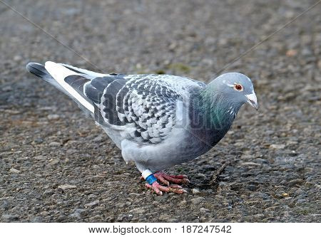 Racing pigeon with rings on legs feeding during race.
