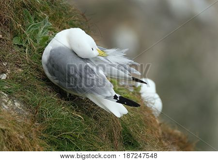 Kittiwake cleaning feathers at nest site on chalk cliff.