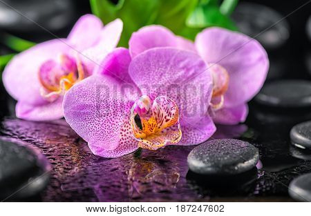 Beautiful Spa Concept Of Blooming Twig Lilac Orchid Flower, Green Leaf With Water Drops And Zen Basa