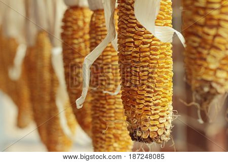 Dried old yellow corns hanging on the wall