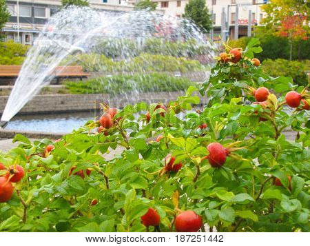 the fruits of wild roses on green leaves on the background of the fountain