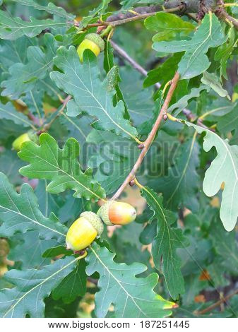 ripe acorns on the branch on a background of oak leaves